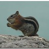 Least chipmunk (101247032)