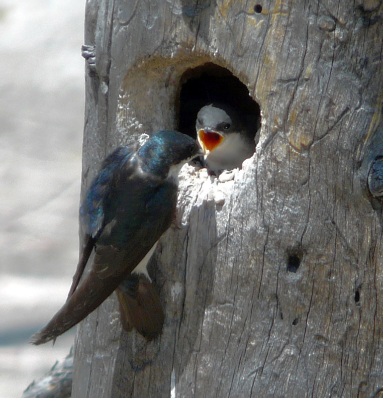 Violet-Green Swallows being fed (101247115)