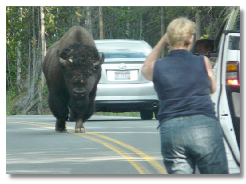 Theres one idiot in every crowd - and I dont think its the bison (101302940)