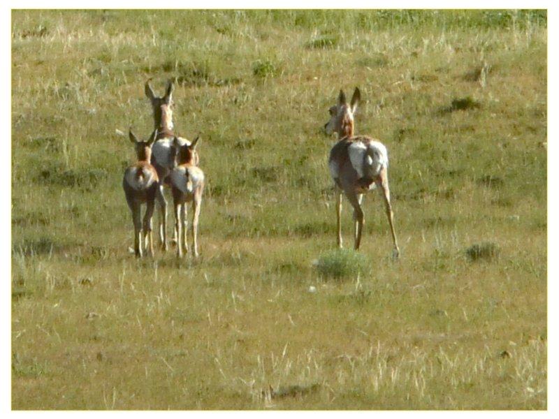 Prong horns on the run (101269345)