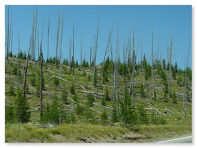 Recovery area from 1988 fire in Yellowstone NP (101348662)