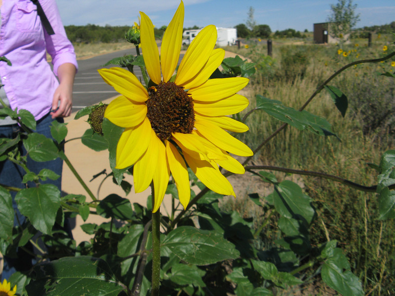 We headed into Mesa Verde NP to see the Cliff Dwellings. Beautiful sunflowers all over the place at the Visitor Center.