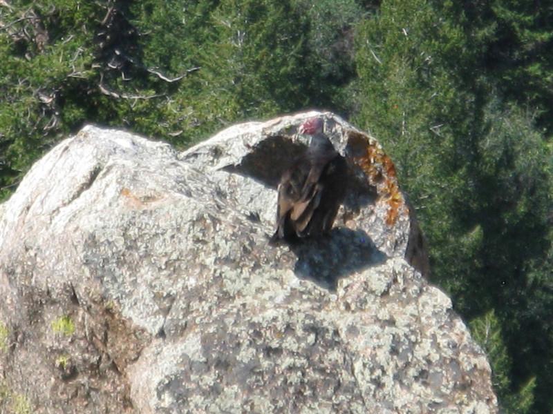 Turkey vulture on the rock.