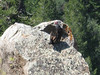 Turkey vulture on the rock.