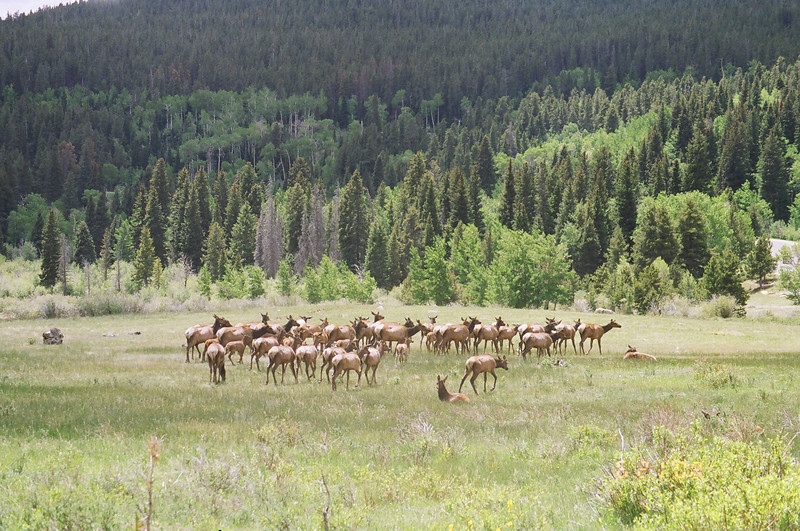 Elks<br /> Rocky Mountain National Park