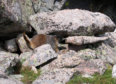 Hike to Chasm Lake: One of Chasm Lake's Attila marmots.
