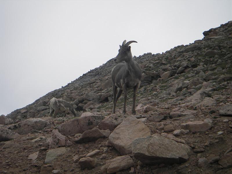 big horn sheep, mount evans, mt. evans