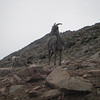 big horn sheep, mount evans, mt. evans