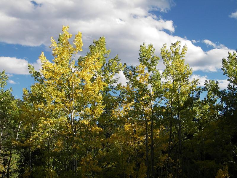 aspens, fall, golden gate state park