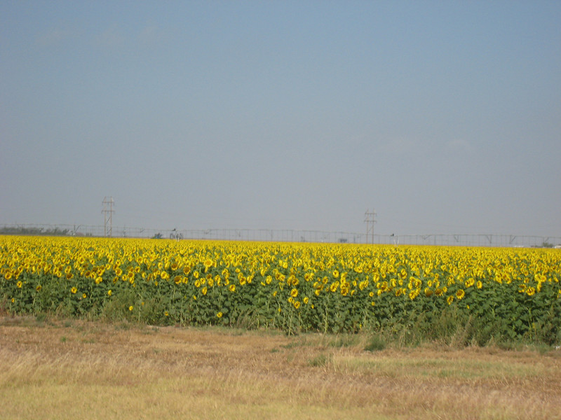 Just outside of Guymon we encountered this large field of Sunflowers. The Sunflower is one of Oklahoma's lesser known cash crops.
