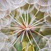Closeup of a dandelion. The dandelion was huge.