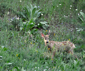 Mule deer fawn behind our condo in West Vail.