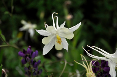 Comercial columbine in Betty Ford Garden in Vail.