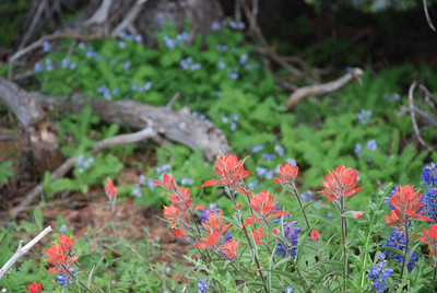 Shrine Ridge. Monday, August 3.  Pink Indian Paintbrush agains blue Lupine, both common sub-alpline and alpine flowers.