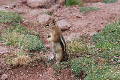 Shrine Ridge resident.  (Mountain ground squirel.)