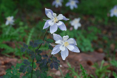 August 3, Shrine Ridge.   Blue Columbine.  State flower of Colorado.  Likes to hide in northern side of evergreen trees in this near sub-alpine altitiude.  Flowers seem to be polentated by small black flies, which are often found in the flowers at this altitiude.