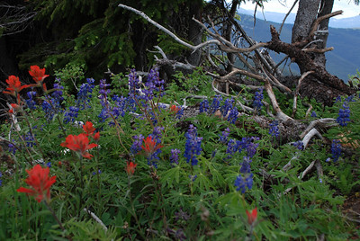 Blue Lupine flowers and pink Indian Paintbrush hide from wind and sun under the cover of a short pine.  These plants are right at the tree line of this mountain at about 11,700 feet.