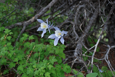 Located at the very top of Shrine RIdge, this Blue Columbine - the state plant of Colorado - nestles in the protected southern side of pine tree.