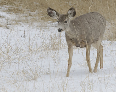Mule deer in the snow @ Lookout Mt Nature Trail April 2