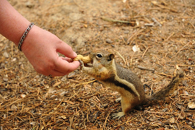 Feeding the friendly chipmunks at the Estes Park Aerial Tramway