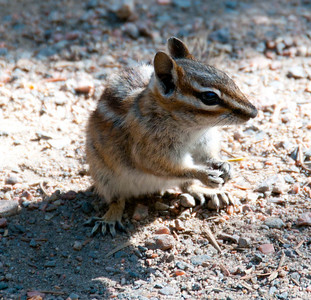 Chipmunk at Bear Lake in Rocky Mountain Natl Park