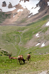 Grazing at high altitute in Rocky Mountain Natl Park