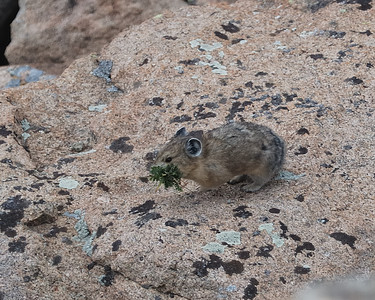 Pika Storing for Winter