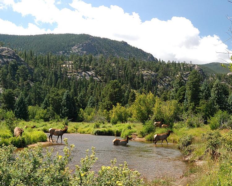 Elk crossing Stream