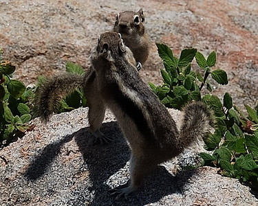 Chipmunk dance