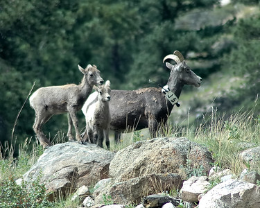 Bighorn Ewe and Lambs