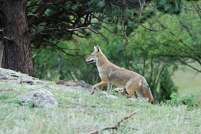 RMNP Coyote2