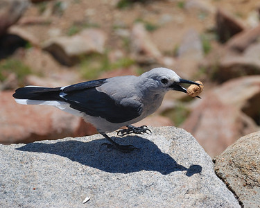 Clark's Nuthatch in RMNP