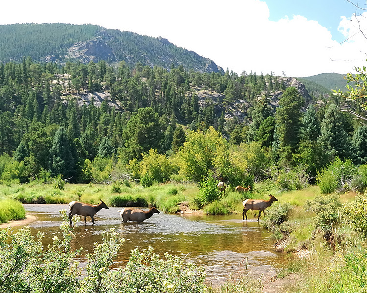 Elk crossing Stream2
