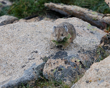 Pika Storing for Winter2