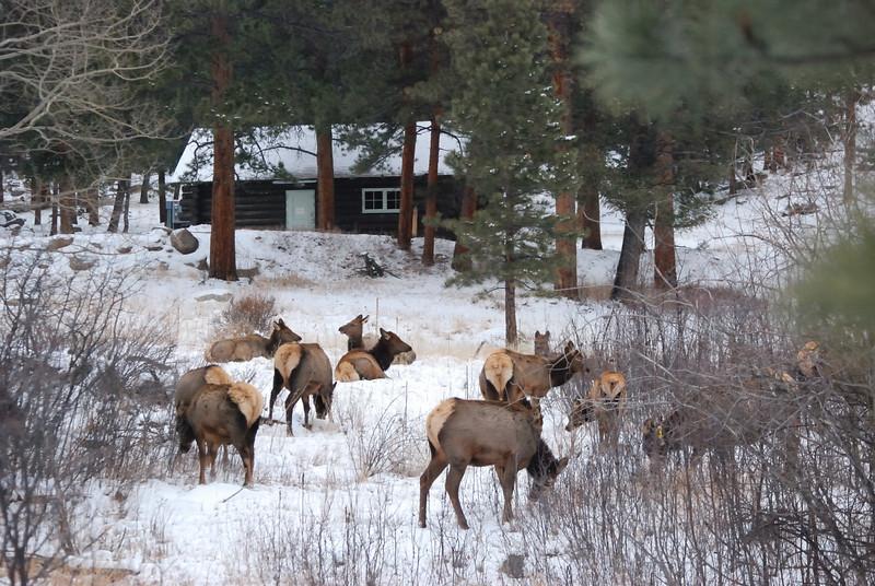 Elk @RMNP 122008