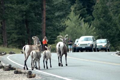 Bighorn Traffic Jam