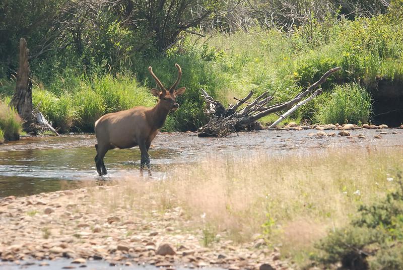 Elk buck in velvet