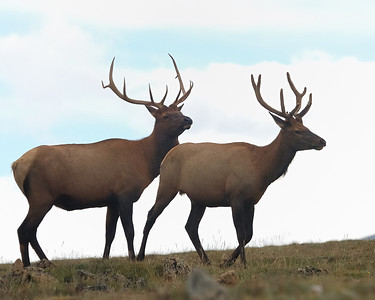 Bull Elks on Trail Ridge Road