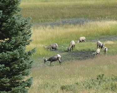 Bighorn Sheep Licking Mud