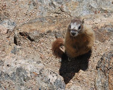 Marmot in RMNP2