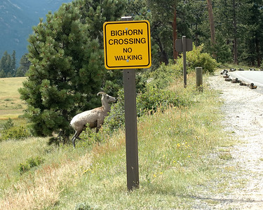 Bighorn Sheep Crossing