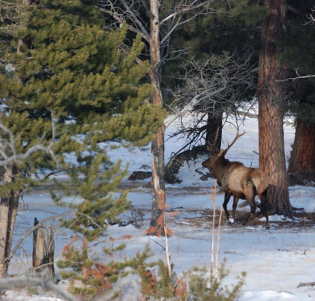 Bull Elk RMNP 12062008