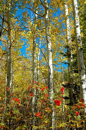 Berries and Aspens