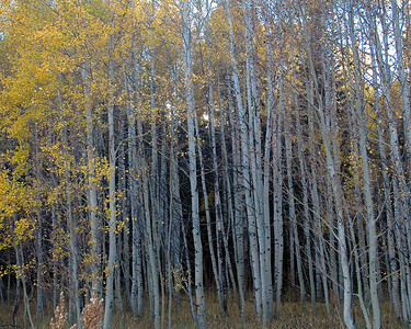 Stand of Aspens
