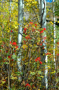 Red berries and Gold Aspens