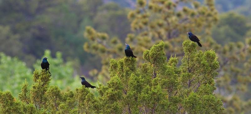 4 Black Birds