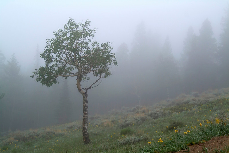 Tree in the mountain fog in Colorado Rocky Mountains.