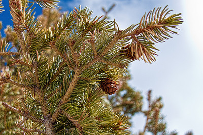 Pine tree atop Trail Ridge Road in Rocky Mountain National Park
