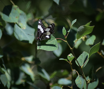 In the South Hills of Idaho, a memorable B&W butterfly.