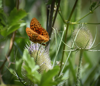 Along Rock Creek Rd, a large stand of teasal attracts many butterflies.